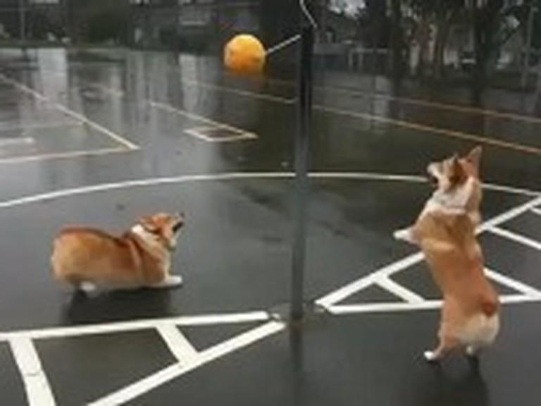 Cute Corgis Play a Game of Tetherball