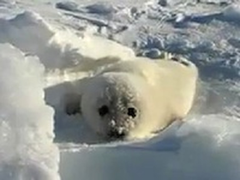 Adorable Baby Seal Makes the Cutest Sounds Ever