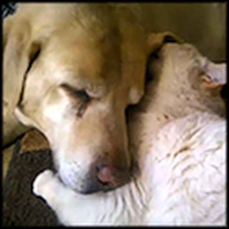 Loving Kitten Takes Care of a Blind Lab