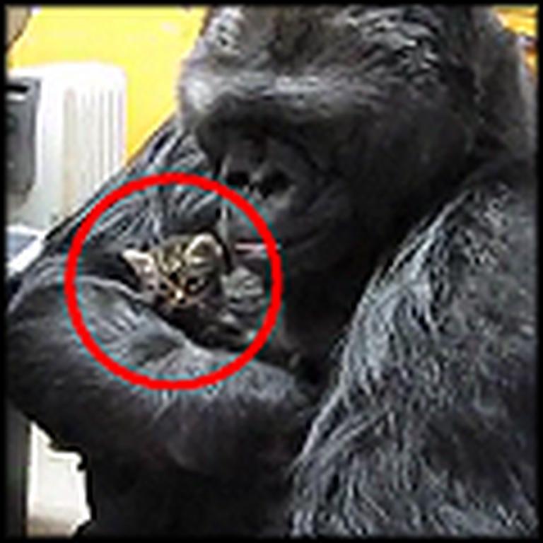 Koko the Gorilla Gets a New Pet Kitten - So Adorable