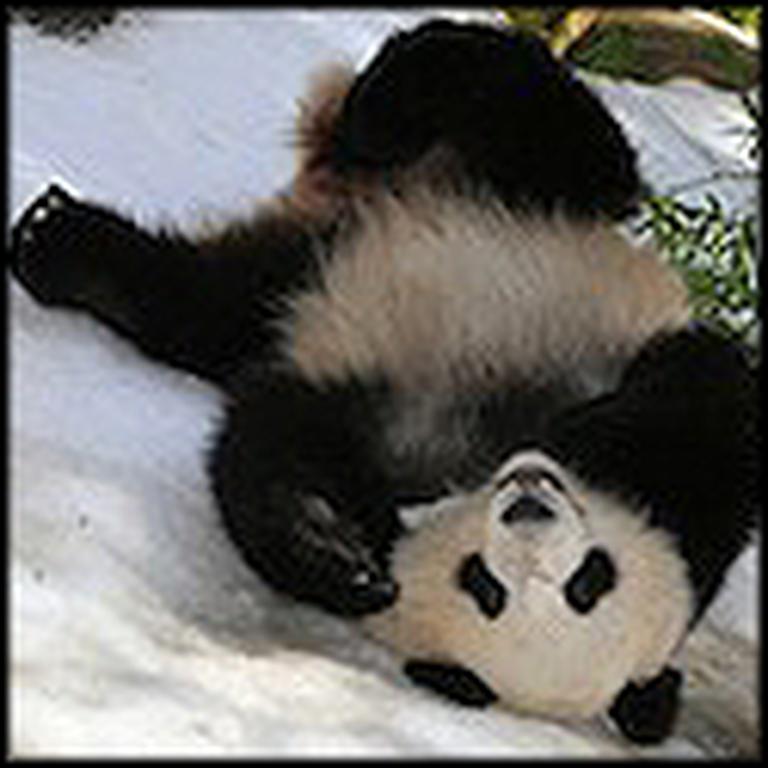 Pandas Roll Around in the Snow For Fun - So Cute