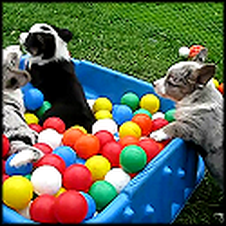 Fun and Crazy Corgis Have a Ball Pit Party