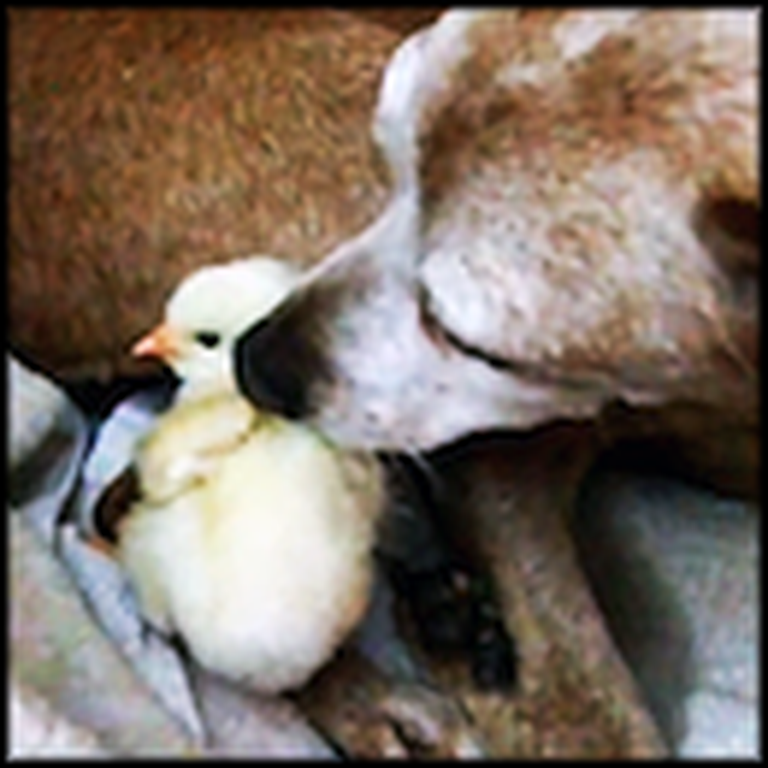 Tender Doggy Takes Care of a Cute Little Chick
