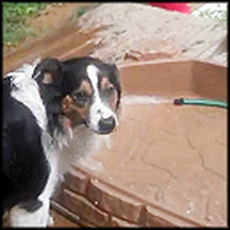 Smart Dog Figures Out How to Use the Hose to Cool Down