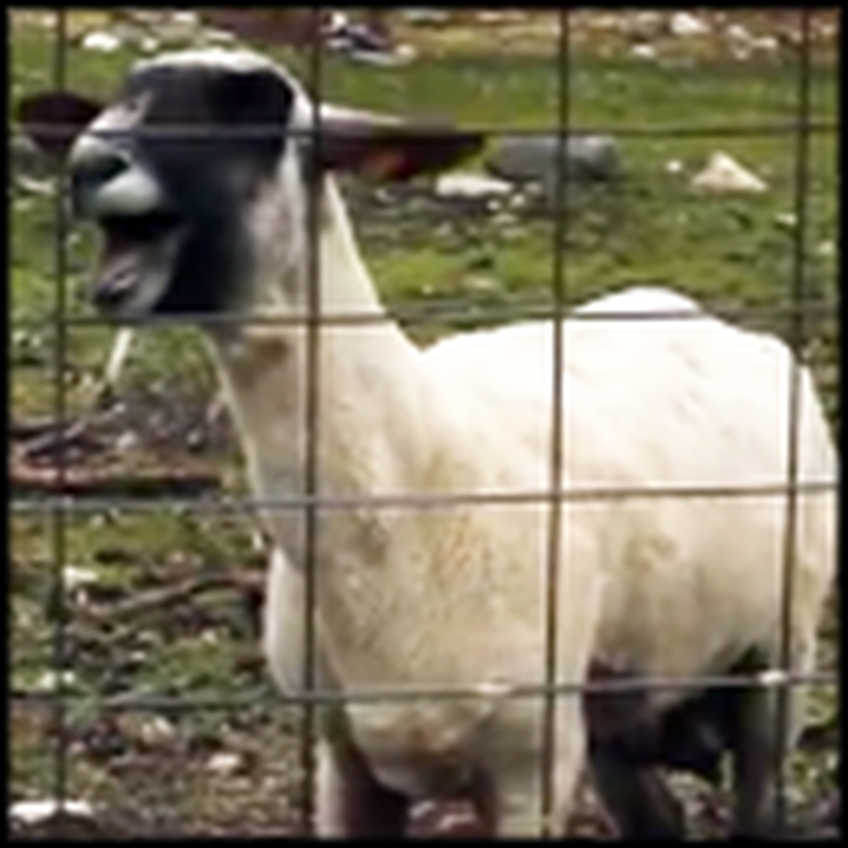 What This Sheep Randomly Does is Absolutely Hilarious