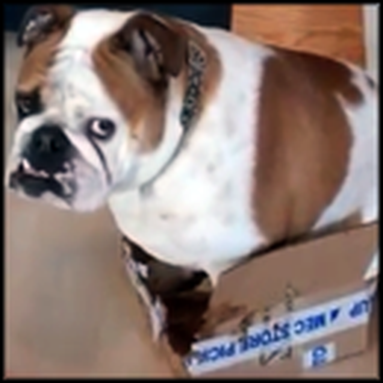 Bulldog Decides a Small Box is Just the Right Size