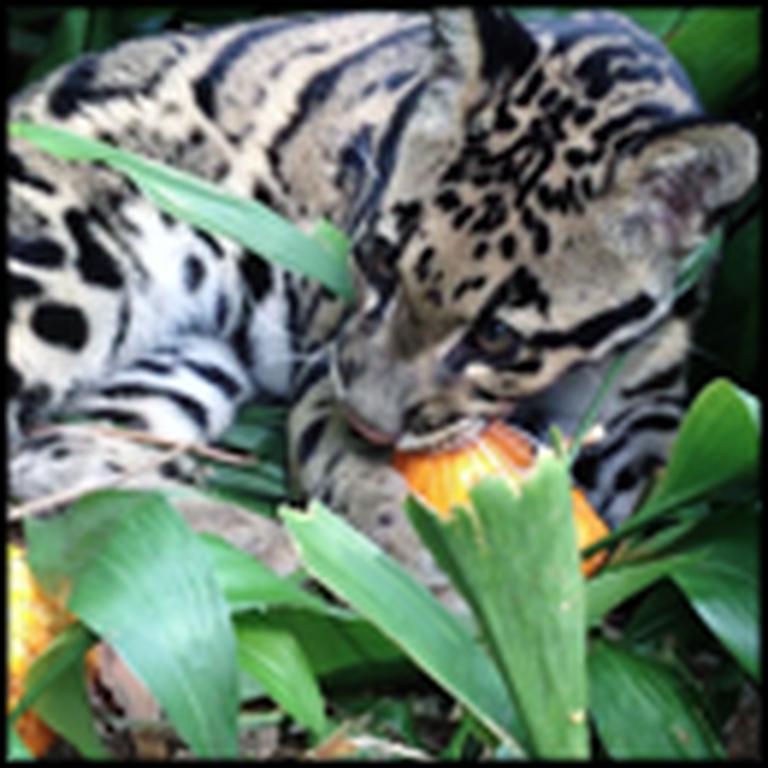 This is How a Leopard Cub Carves a Pumpkin - So Cute