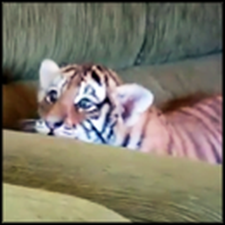 Adorable Tiger Cub Plays So Cute With Puppy