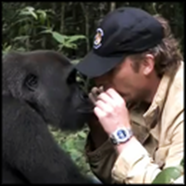 Man Reunites With Wild Gorilla He Raised - So Touching