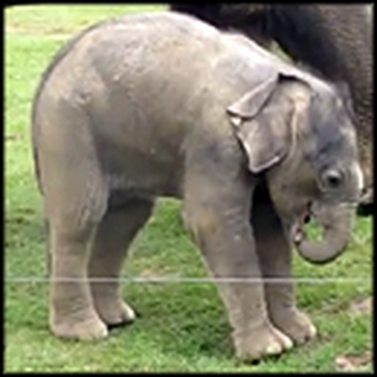 Cute Baby Elephant Tries To Take First Steps - and Steps on His Trunk