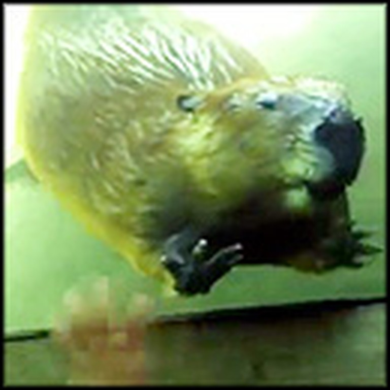 Beaver Does Something Surprisingly Cute at a Zoo