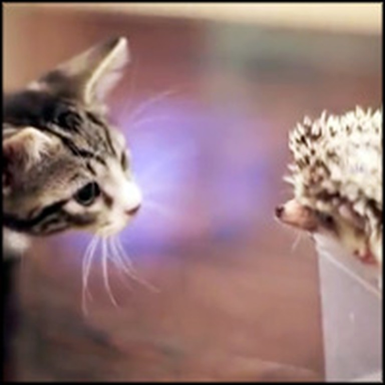 Kitten Meets a Hedgehog for the Very First Time