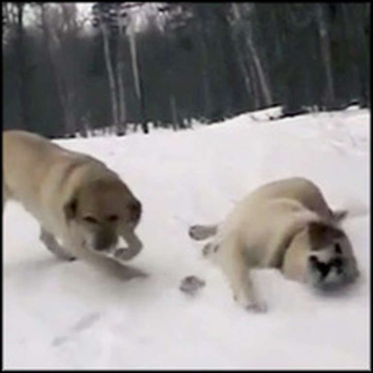 Darling Labradors Have a Blast Sliding in the Snow