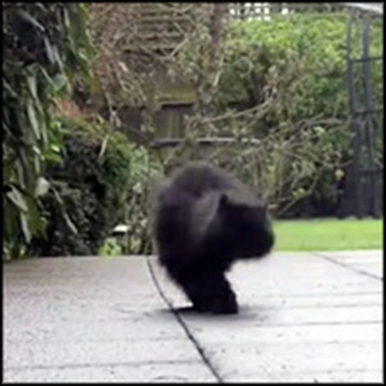 Fluffy 2 Legged Cat Has Determination That Will Inspire You