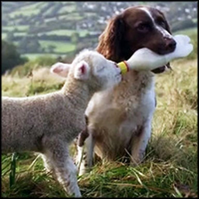 Compassionate Dog Feeds Orphaned Lamb With Bottle