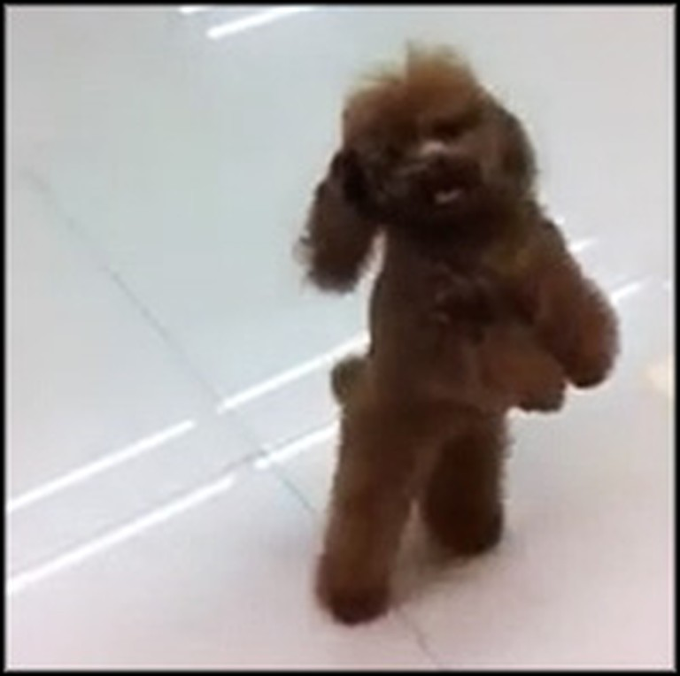 Super Cute Dog Walks Just Like a Human