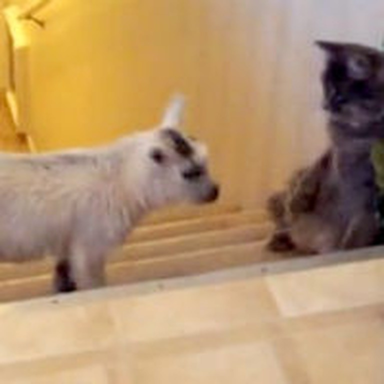 Cat Playing With a Baby Goat Will Instantly Brighten Your Day