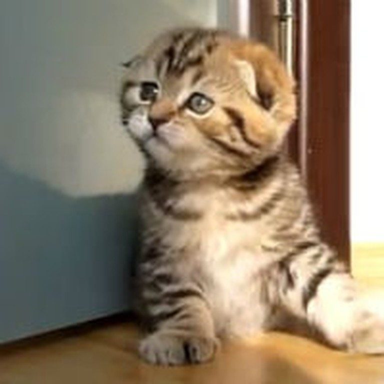 Adorable Scottish Fold Kittens Run Around at Home
