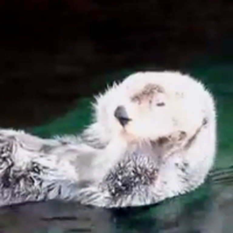 Sea Otter Gives Himself a Nice Relaxing Face Massage