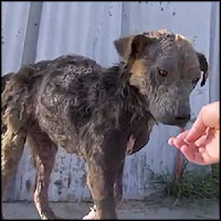 Homeless Dog Dying of a Bacterial Infection Gets Rescued by an Angel