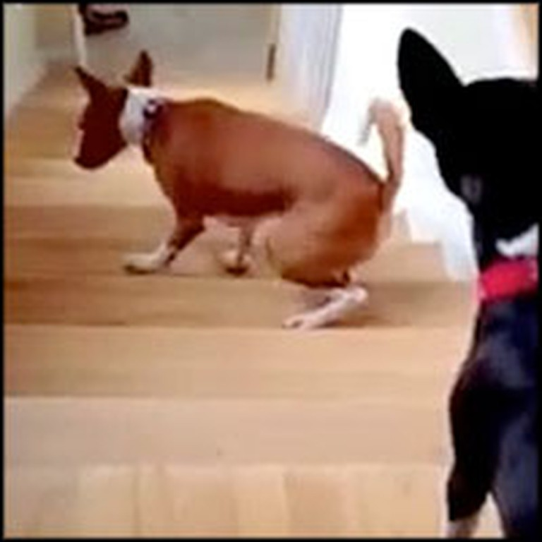 Silly Dog Takes the Stairs in an Unusually Funny Way