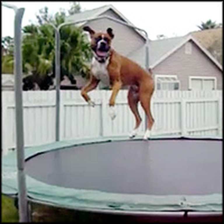 Boxer Has a Blast Jumping on the Trampoline