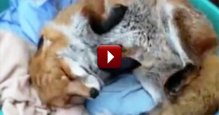 After Being Rescued, a Sweet Fox Shows Her Saviors Amazing Gratitude