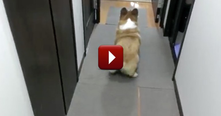 Fall in Love with Fluffy-Butt the Corgi - What a Cute Little Dance!