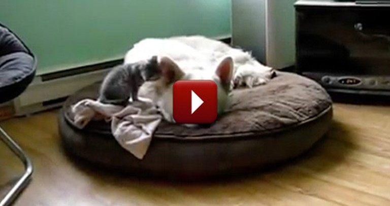 Tiny Kitten Refuses to Let His Big Brother Go to Bed - And It's Too Cute