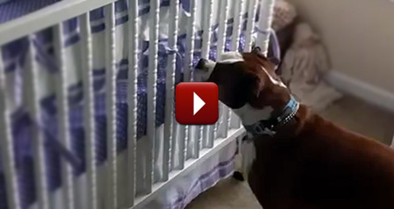 When His Human Baby Cries, This Boxer Does the Sweetest Thing