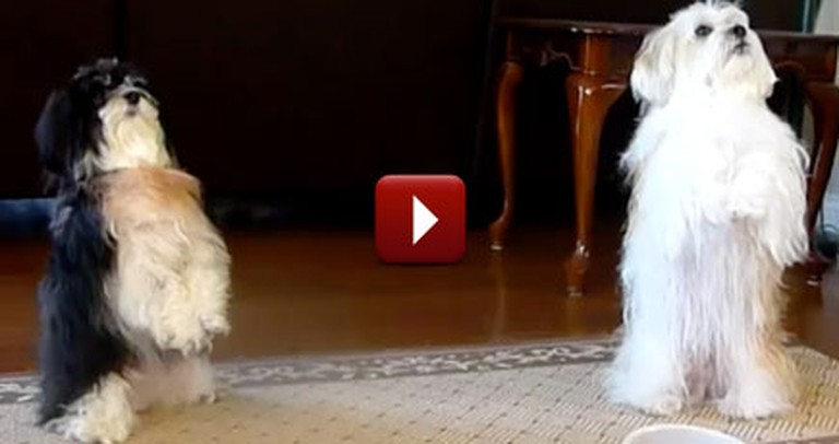 Two Grateful Christian Doggies Say Grace Before Their Meal - Amen