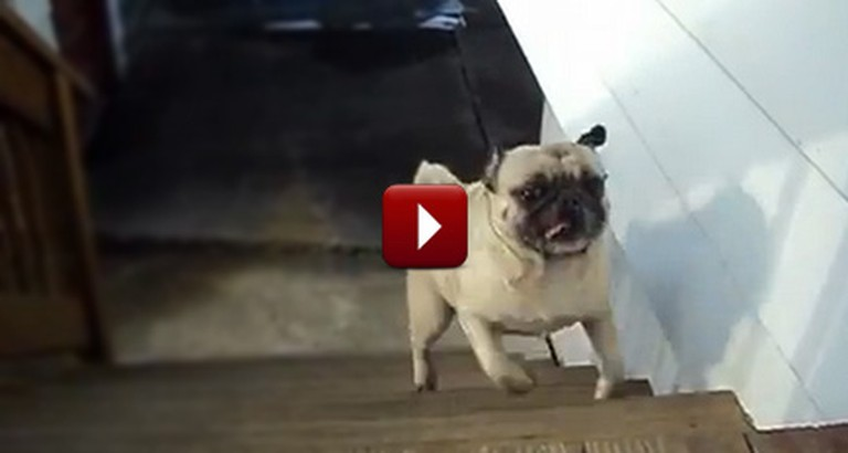 Adorable Pug Has a Funny Way of Taking the Stairs