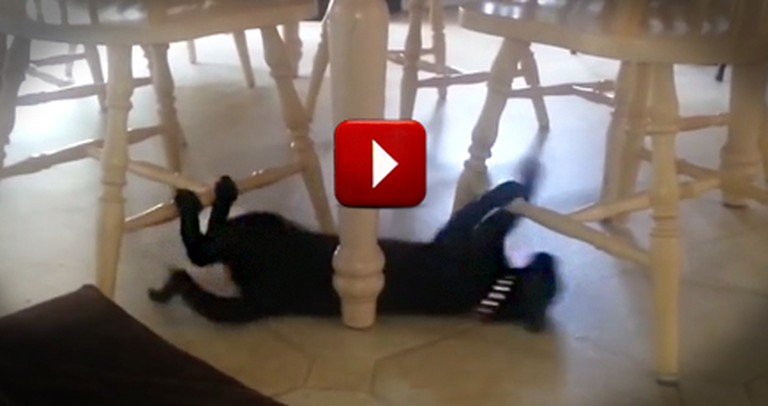 Funny Cat Uses Kitchen Chairs as Monkey Bars to Slide on the Floor