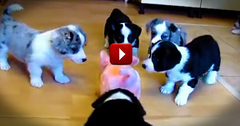 These 7 Pups Work to Bring Home the Bacon. But This Pig's Just Toying With Them! LOL