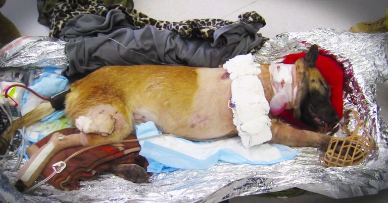 Soldiers Are Alive Today Because of This Brave Dog. What They're Doing For Her Now--Whoa!