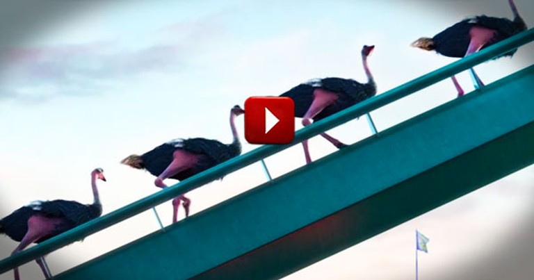 These 7 Ostriches Wanted a Little Adventure. And Their Antics Sent Me for a Loop--So Cute!