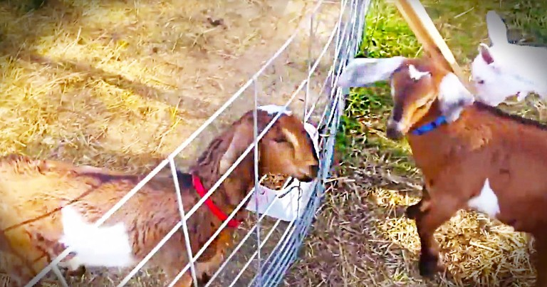 This Baby Goat Was Stuck And Starting To Panic. But Then His Friends Came To The Rescue!