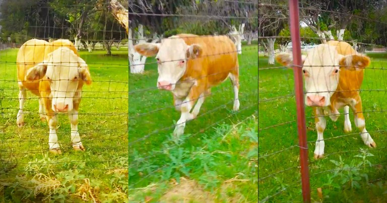 When 1 Happy Cow Made a New Friend, It Made My Day! This Excited Critter Is the Absolute Cutest!
