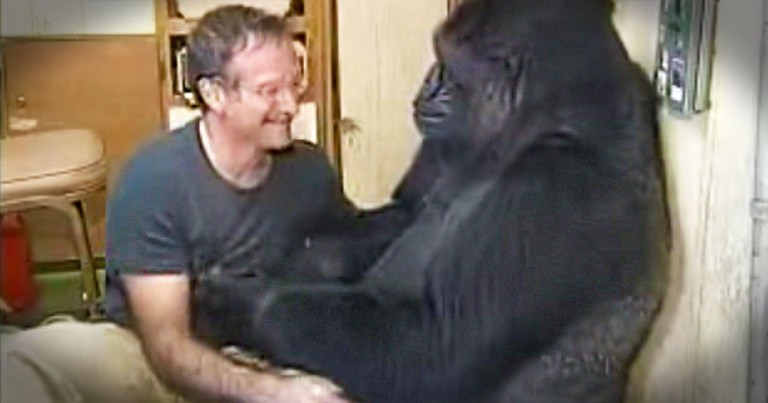 This Moment Robin Williams Shared With Koko Is Beautiful. His Gift of Laughter Will Be Missed.