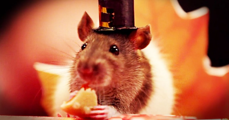 Tiny Hamsters Enjoy A Huge Thanksgiving Feast--Aww!