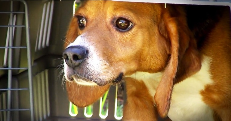Beagles Are Rescued From Lives Of Animal Testing