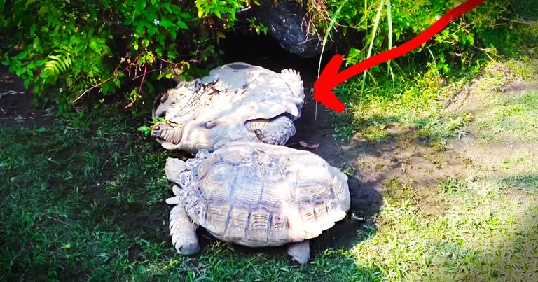 Turtle Saves His Friend's Life, And It's Adorable!