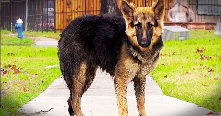 German Shepherd Left Alone On Streets Gets Beautiful Rescue