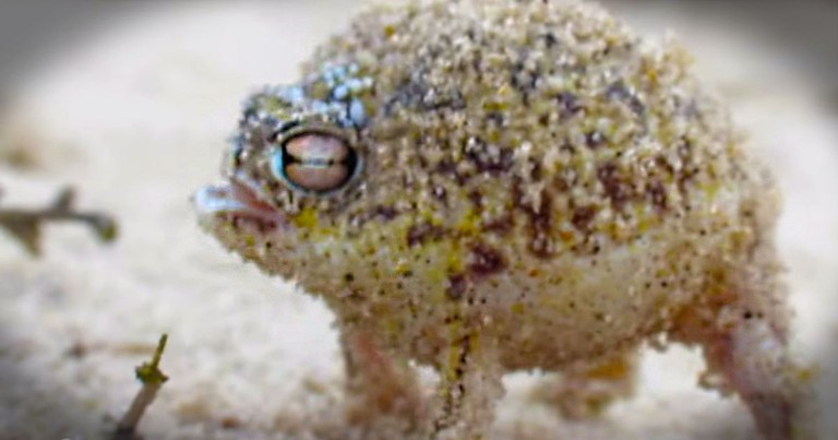 This Is The World's Cutest Frog. I'm Completely Convinced He Swallowed a Squeaky Toy