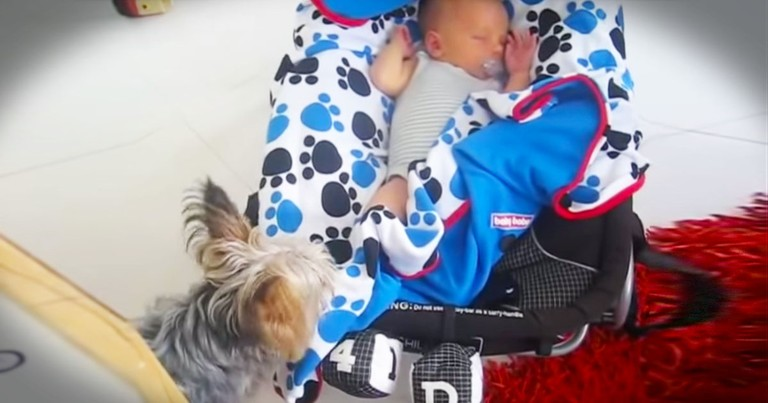 Yorkie Melts Hearts When He Does THIS For Baby!