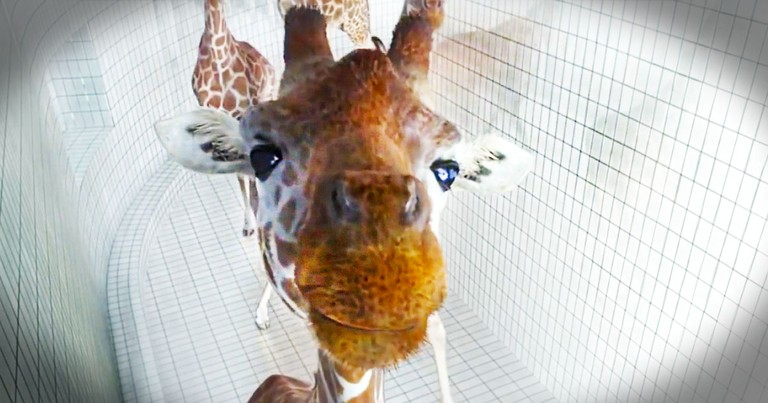 When These Giraffes Started, I Didn't Know What To Think. But By The End, I Wished This Was Real!