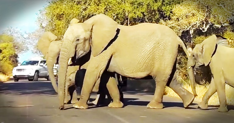 Why These Elephants Stop Traffic Will Have You Saying, AWWW!