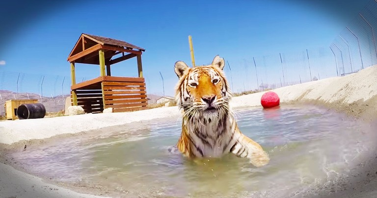 Rescued Tigers Do THIS For The First Time, And My Heart Melted.
