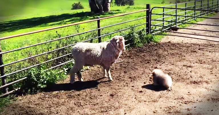 A Puppy Herding Sheep? This You've Gotta See!