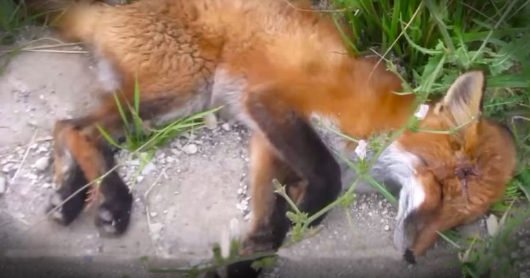 Fox Was Almost Dead Until She Got This Incredible Rescue